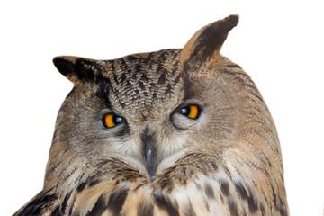 Fotoväggar - large eagle-owl closeup on white