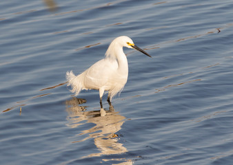 Snowy Egret looking for food