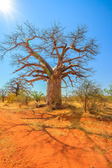 Baobab tree also known as monkey bread trees, tabaldi or bottle trees, in Musina Nature Reserve, South Africa. Baobab forest reserve in Limpopo. Vertical shot. Sunlight with blue sky.