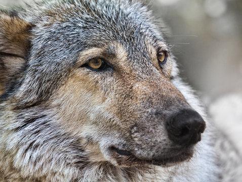 wolf close up photo