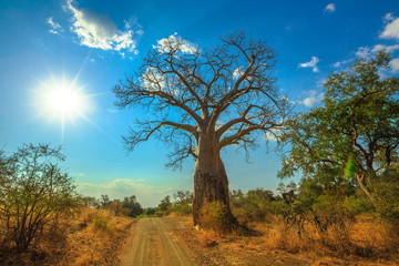 Baobab tree in Musina Nature Reserve, one of the largest collections of baobabs in South Africa. Game drive in Limpopo Game and Nature Reserves. Sunny day with blue sky.