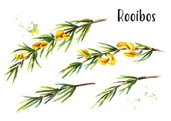 Rooibos branch set, Aspalathus linearis. Watercolor hand drawn illustration, isolated on white background
