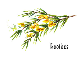 Rooibos branch, Aspalathus linearis. Watercolor hand drawn illustration, isolated on white background