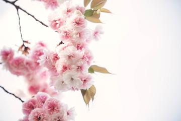Beautiful cherry blossom; Sakura in spring time over blue sky in Kyoto, Japan