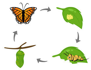 Life cycle of Butterfly. Cartoon cute vector Illustion EPS10 on white background.