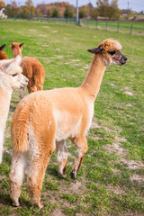 Colorful group of Alpacas on the farm. A variety of fleece types and colors are visible