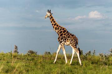 Giraffe in Murchison National Park, Uganda, Pearl of Africa