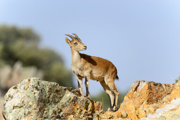 Mountain Goat in the natural area near the towns of Riolid and Salobre, Albacete, Spain.