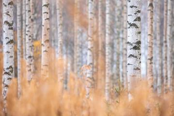 Birch (Betula pendula) tree trunks in autumn forest.
