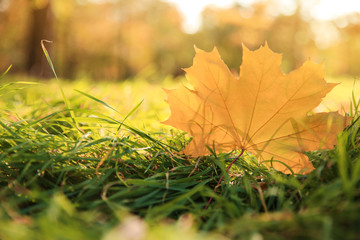 Autumn leaf on green grass in beautiful park. Space for text
