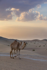 Two camels walking a road at sunset in the desert