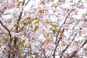 Blooming cherry tree in the spring with white flowers