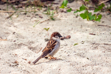 Sparrow in the sand looking for food