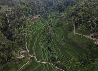 Bright green rice grows at the Tegallalang Rice Terraces captured by drone in Bali, Indonesia