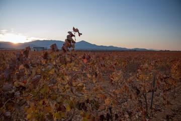 grandes extensiones de viñedos