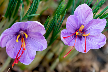 Saffron crocus sativus purple flowers