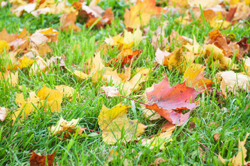 Green grass dotted with yellow maple leaves, closeup