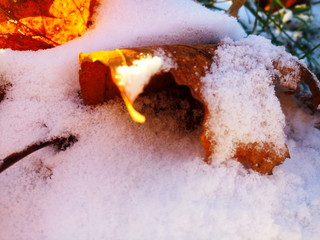 snow, leaf, winter, leaves, fall, autumn, maple, nature, background, yellow, frost, white, season, tree, cold, plant, weather, isolated, frozen, beautiful, orange, first, bright, day, color