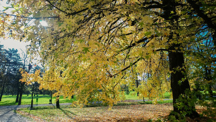 maple tree with yellow leaves in autumn park