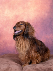 Long haired wiener dog portrait.