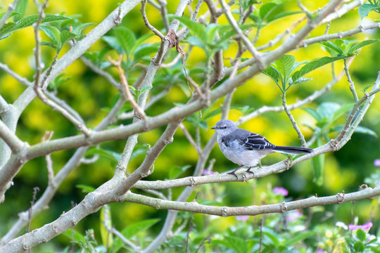Young Northern Mockingbird (Mimus Polyglottos) perched on a tree branch in Jamaica.