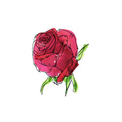 Red garden rose isolated on white background. Hand drawn watercolor and ink illustration.
