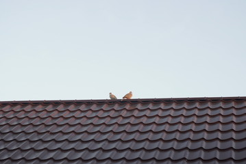 a couple of wild pigeons on the roof
