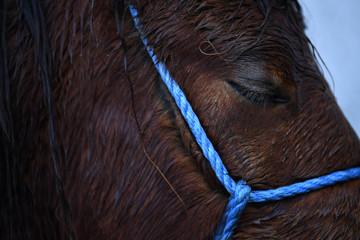A Connemara pony closes it's eyes during heavy rain at the annual Maam Cross fair in the Connemara region of Maam Cross in Galway