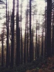 Trees background in a foggy atmosphere