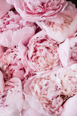 Beautiful aromatic fresh blossoming tender pink peonies texture, close up view