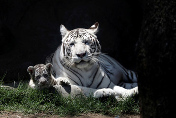 A  two-month old Bengal tiger cub is seen with the mother at Huachipa zoo in Lima,