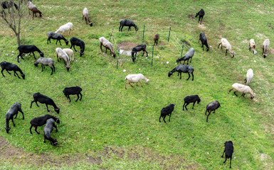 flock sheep and goats graze in the field