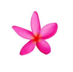 Pink Frangipani flower isolated on white background