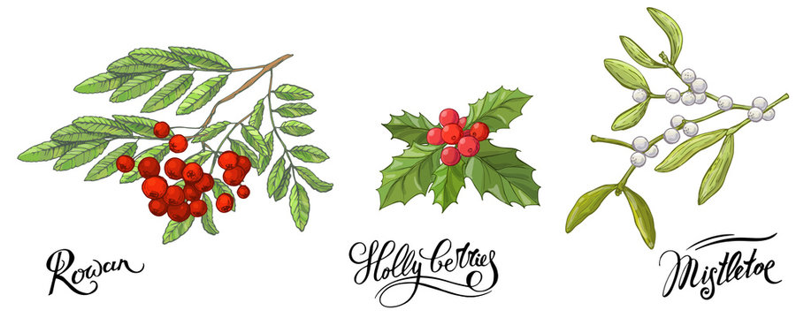 Rowanberry branches with leaves and berries, mistletoe and Holly berry. Hand drawn sketch, vector doodle color illustration and lettering names