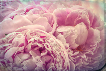 Yellowed Garden Pink Peonies Flowers Grunge Aged Vintage Photo