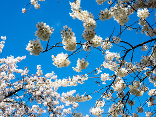 Cherry blossoms against blue sky in Seattle, WA, USA