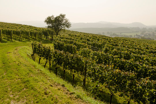 Weinterrassen, Weinberge im Kaiserstuhl
