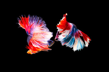 The moving moment beautiful of siamese betta fish or splendens fighting fish in thailand on black background. Thailand called Pla-kad or biting fish.