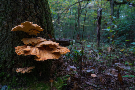 Large bright orange fungi growun on a tree, in a woodland