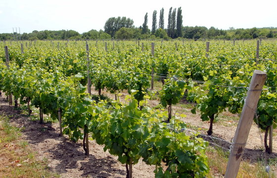 """Vignes de Cheverny, """"Châteaux de la Loire"""", département du Loir-et-Cher, France"""