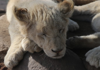African baby white lion