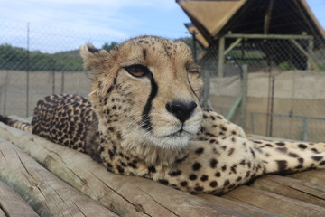 One eyed Cheetah