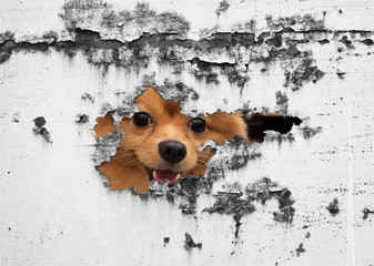 portrait of cute puppy dog behind old cracked wall,animal,mammal
