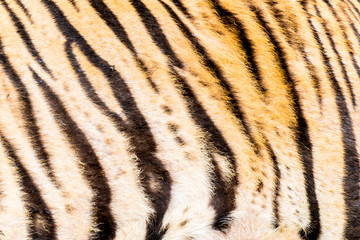 Animal skins texture of Tiger