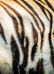 Animal skin texture of a tiger