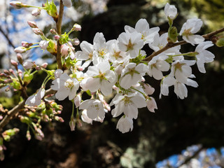 White cherry blossoms on a branch in Seattle, WA, USA