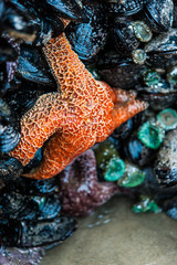 An orange seastar sits on top of a mussels and green anemones on Cannon Beach in Oregon.