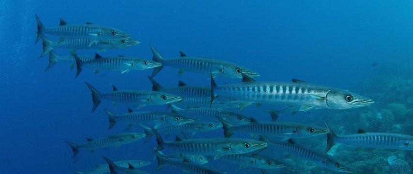 Large School of Chevron Barracuda fish or Sawtooth Barracuda (Sphyraena putnamae), Indonesia