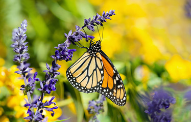 Monarch butterfly (Danaus plexippus) feeding on blue salvia flowers in the autumn garden.