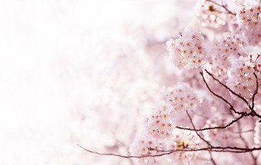 Cherry blossom in full bloom. cherry flowers in small clusters on a cherry tree branch.